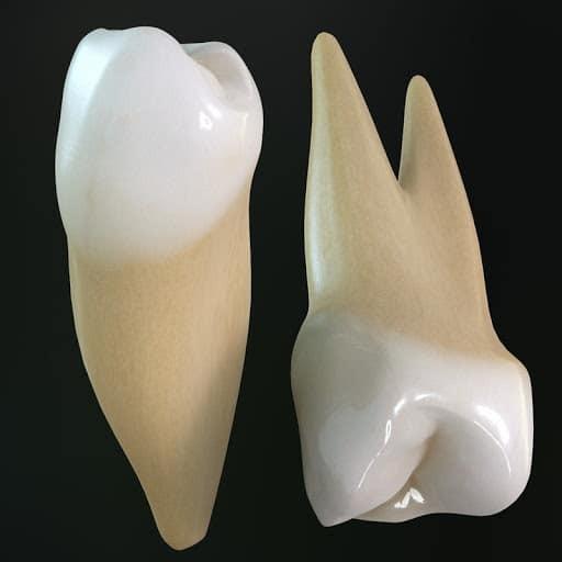Răng cối nhỏ 1 hàm trên và dưới