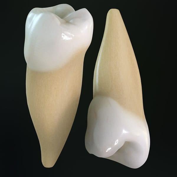 Răng cối nhỏ 2 hàm trên và dưới