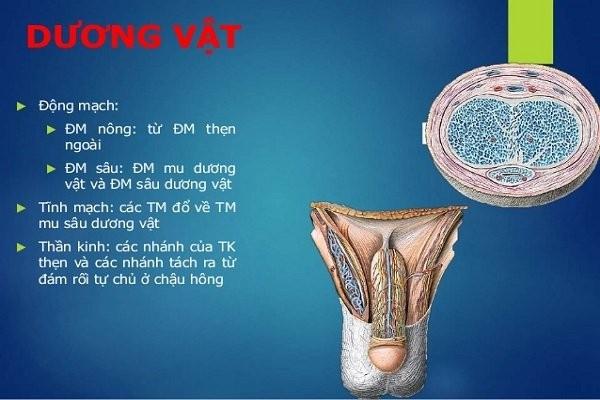 Tĩnh mạch của dương vật