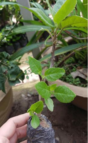 Đây là một cây thuốc dễ trồng