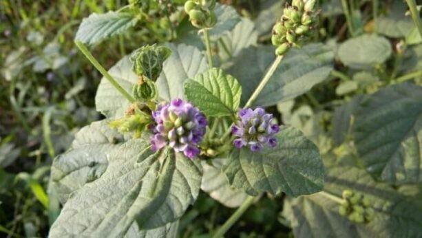 Hạt của cây dùng làm vị thuốc