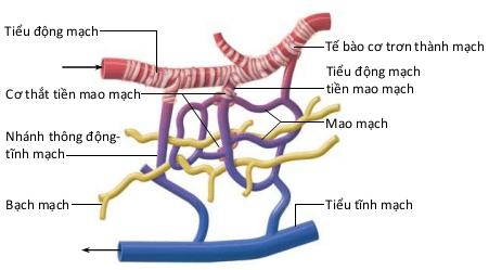 cơ thắt tiền mao mạch