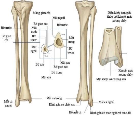 Mốc giải phẫu bề mặt xương mác