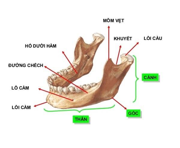 cấu trúc xương hàm dưới