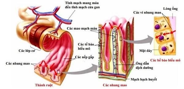 Cấu tạo giải phẫu của ruột non và ruột già