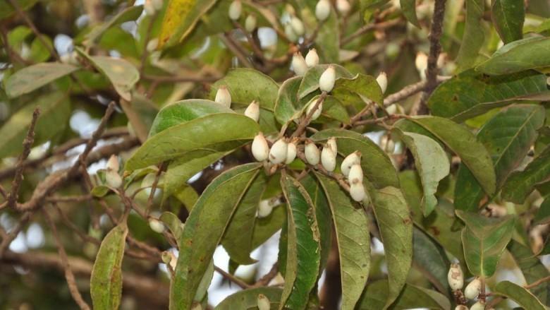 Lá và quả của cây Dung