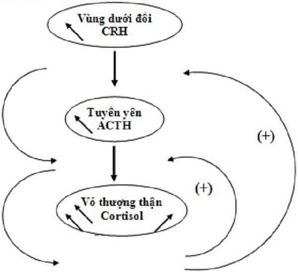 Mô tả quá trình điều chỉnh nồng độ cortisol trong cơ thể
