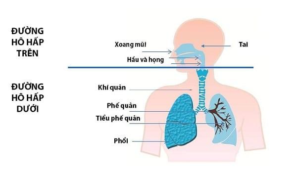 Đường hô hấp dưới