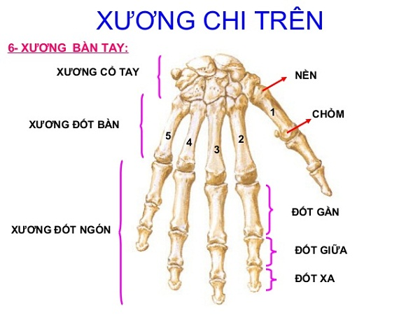Minh họa các khối xương của bàn tay