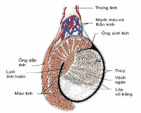 Cấu trúc cắt ngang của tinh hoàn