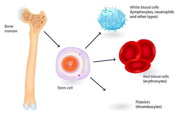 Tế bào gốc tủy xương có số lượng nhiều hơn