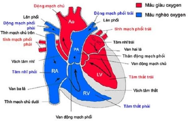 Sơ đồ cấu trúc của tim bình thường