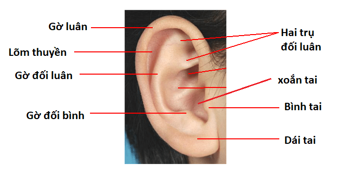 Hình thể ngoài của loa tai