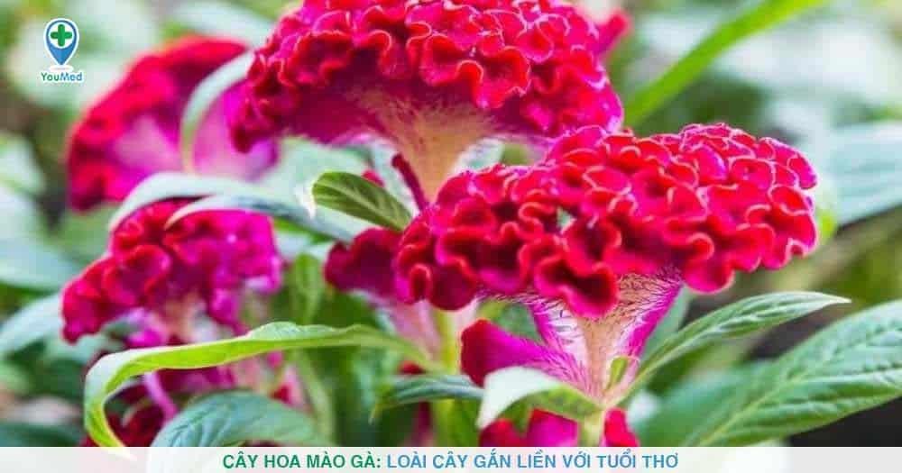 Cây Hoa mào gà: Loài cây gắn liền với tuổi thơ