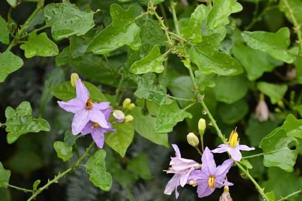 Cà dại hoa tím có vị đắng, tính mát, có tác dụng tán ứ tiêu thũng, tiêu viêm giảm đau.