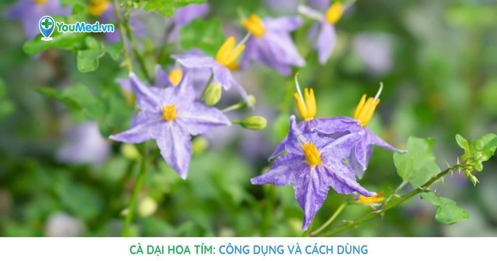 Cà dại hoa tím