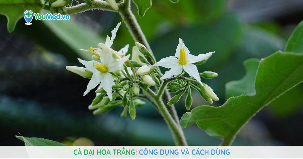 Cà dại hoa trắng