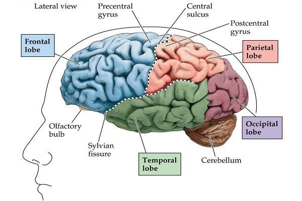 Các thùy của não