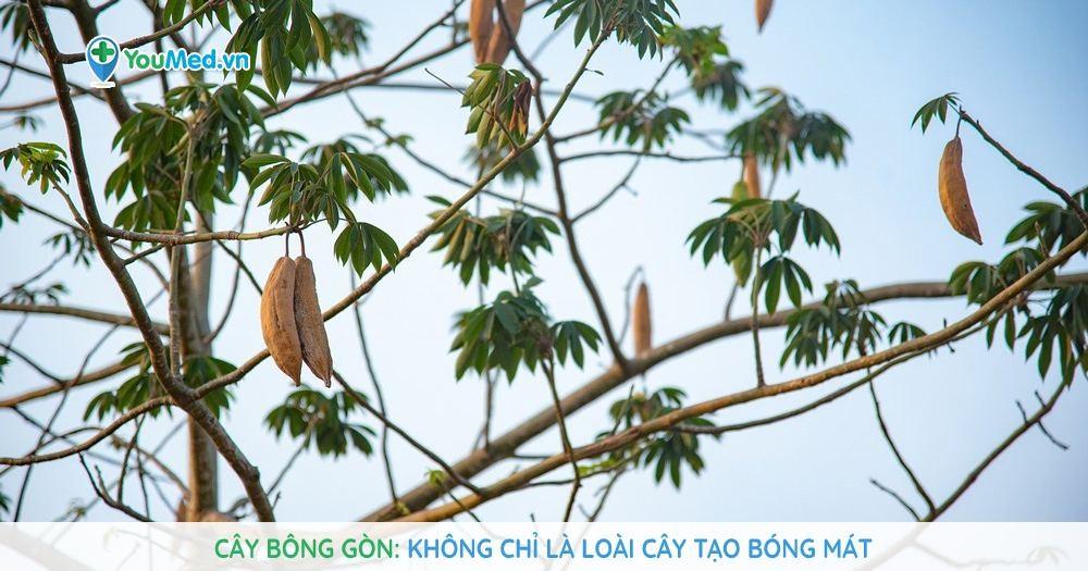 Cây Bông gòn - Không chỉ là loài cây tạo bóng mát