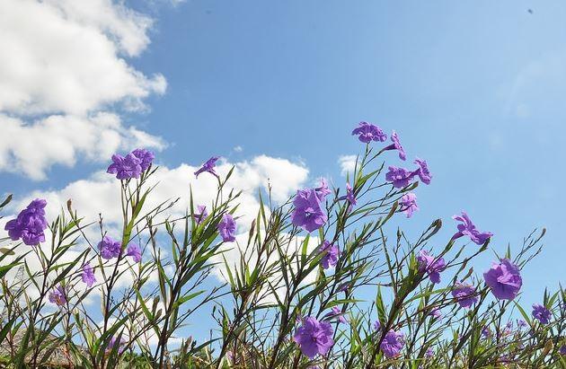 Hoa cây Quả nổ có màu xanh tím đặc trưng