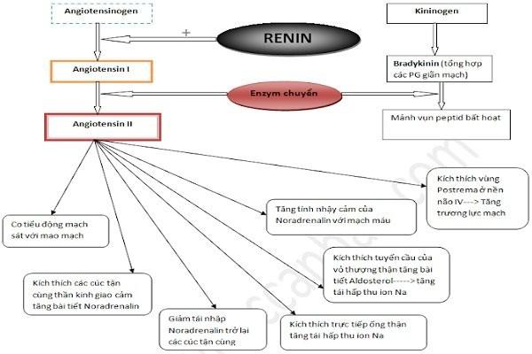 Hoạt hóa Renin - Angiotensin