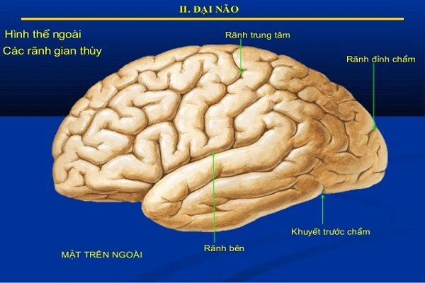 Rãnh trung tâm của não