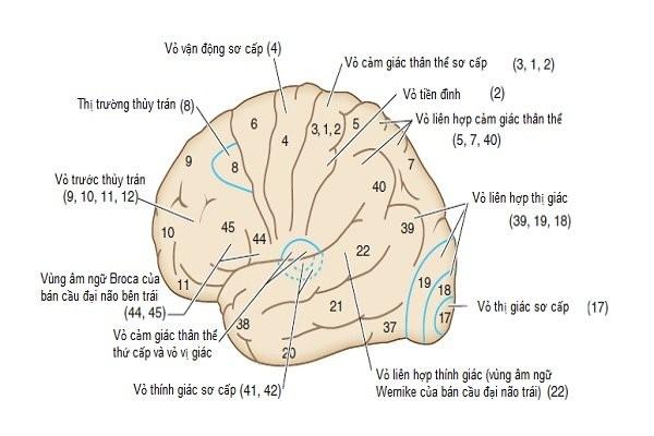 Vỏ não