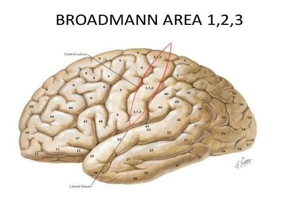 Vùng não Broddmann