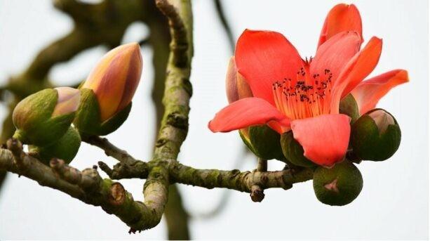 Hoa có tác dụng làm se, tiêu viêm, giải độc, sát khuẩn, thông huyết