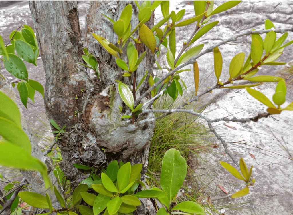 Nó thường bám trên các cây gỗ