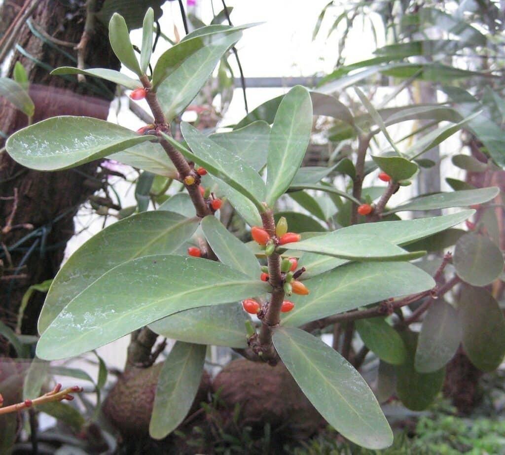 Lá cây mọc đối, hình trái xoan hoặc bầu dục