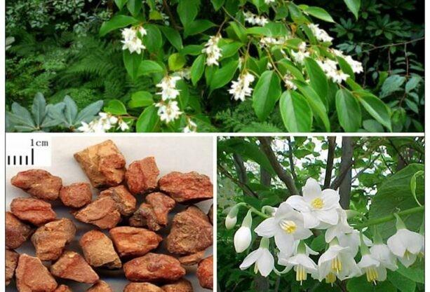 Hình dáng cành, lá, hoa của cây Bồ đề