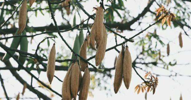 Cây Bông gòn là loại cây quen thuộc, vừa tạo bóng mát, vừa làm thuốc