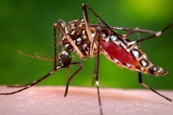 Cà độc dược có tác dụng đuổi muỗi
