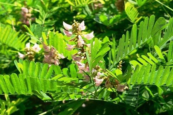 Lá và hoa của cây Cam thảo dây