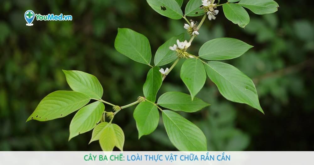 Cây Ba chẽ: Loài thực vật chữa rắn cắn