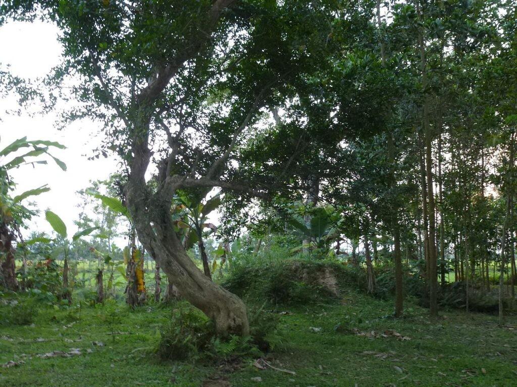 Cây duối cổ thụ tại khu di tích Đền thờ Lê Ngọc tại làng Trường Xuân, xã Đông Ninh, huyện Đông Sơn, Thanh Hóa
