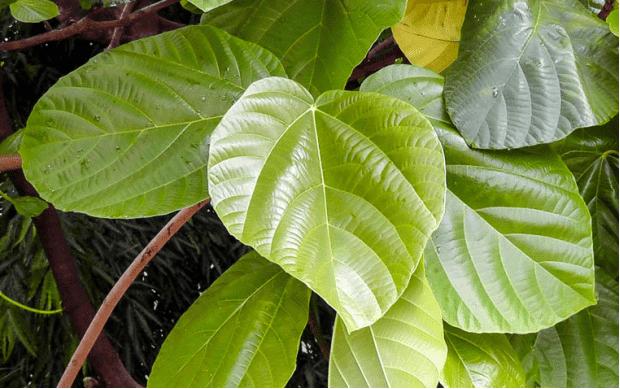 Hình ảnh lá Vả