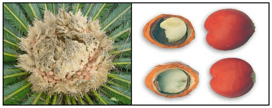 Nón và hạt Vạn tuế đều được sử dụng làm thuốc nhưng cũng chứa nhiều độc tính