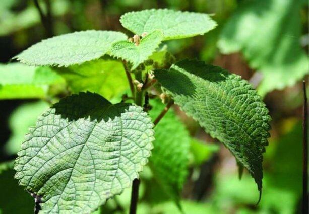 Lá và rễ của cây lá gai thường dùng làm thuốc, có thể thu hái quanh năm