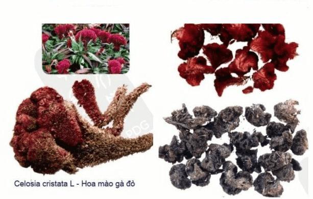 Cây Hoa mào gà có thể dùng làm vị thuốc trị bệnh rất tốt
