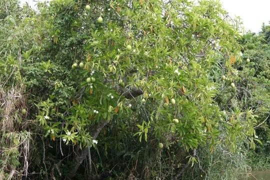 Mướp sát là cây nhỡ, cao chừng 4–6m