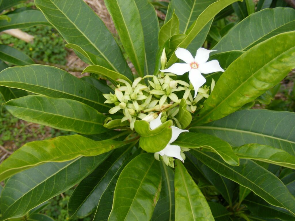 Lá và hoa Mướp sát
