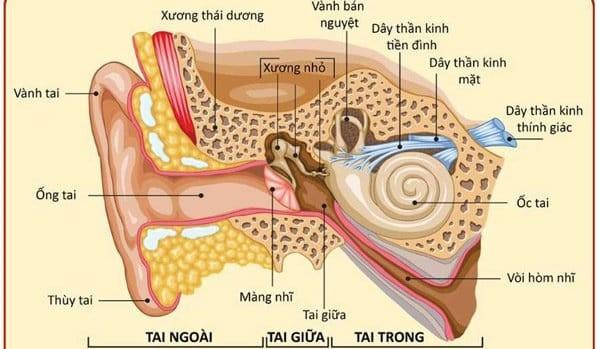 Cấu táo của ốc tai