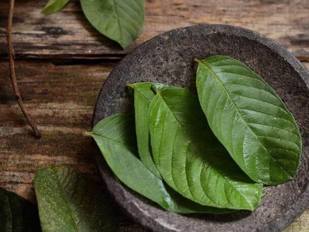 Lá cây Ổi chứa nhiều tinh dầu, có tác dụng điều trị bệnh