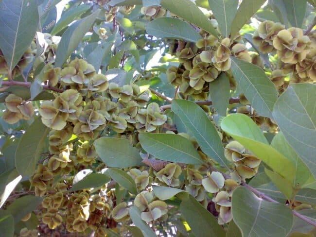 Lá và quả cây Trâm bầu