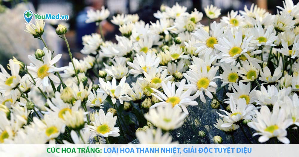 Cúc hoa trắng: Loài hoa thanh nhiệt, giải độc tuyệt diệu