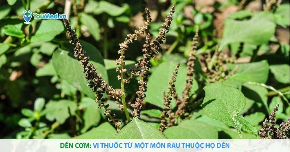 Dền cơm: Vị thuốc từ một món rau thuộc họ Dền