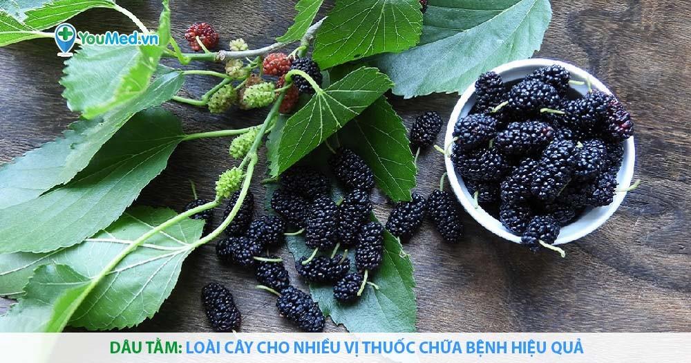 Dâu tằm: Loài cây cho nhiều vị thuốc chữa bệnh hiệu quả
