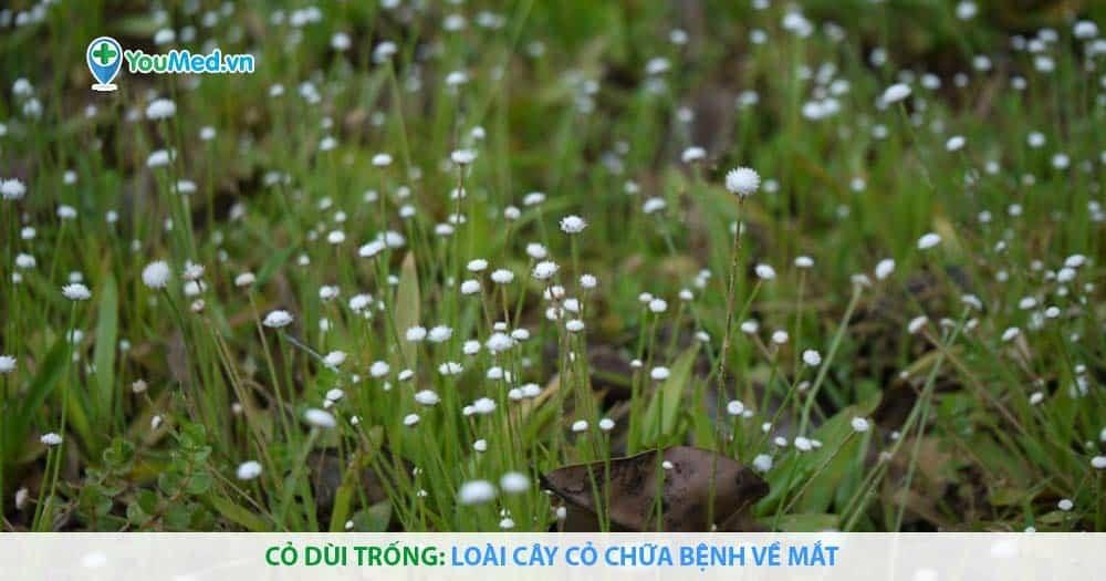 Cỏ dùi trống: Loài cây cỏ chữa bệnh về mắt